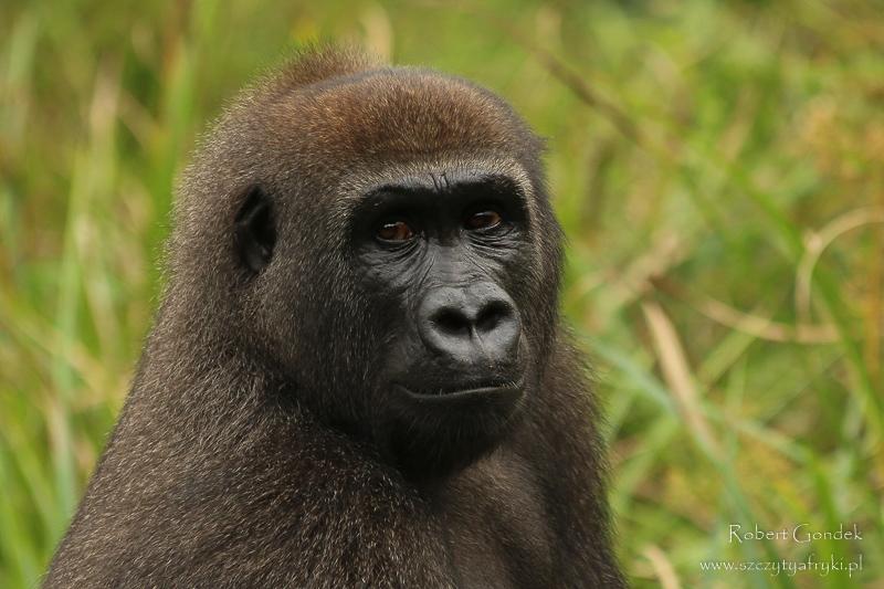 Gabon - goryl nizinny