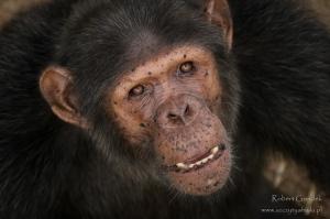 Gabon - szympans