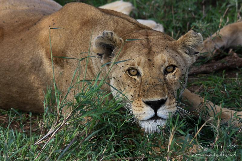 Lew w Serengeti