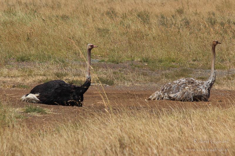 Para strusi afrykańskich
