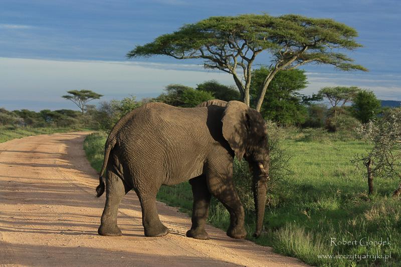 Safari w Serengeti