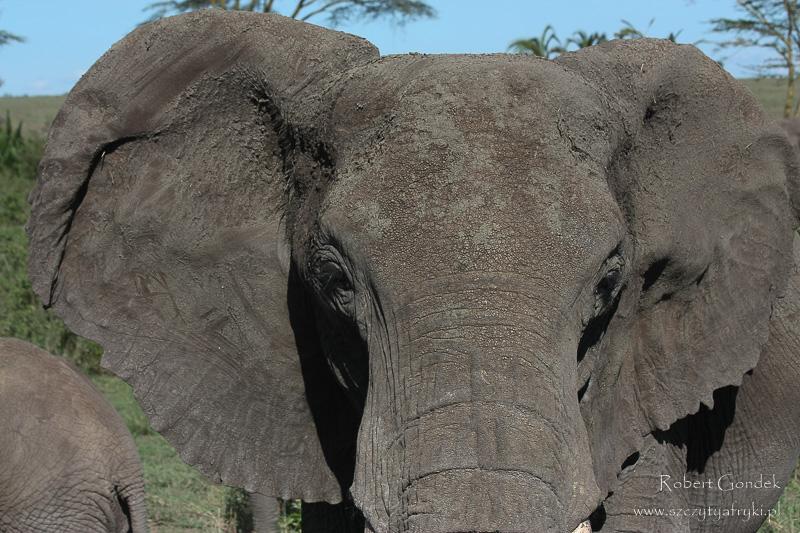 Słoń w Serengeti