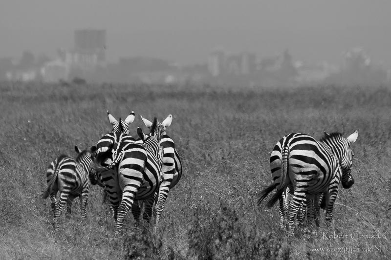 Zebry i wieżowce