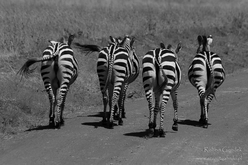 Zebry w Kenii