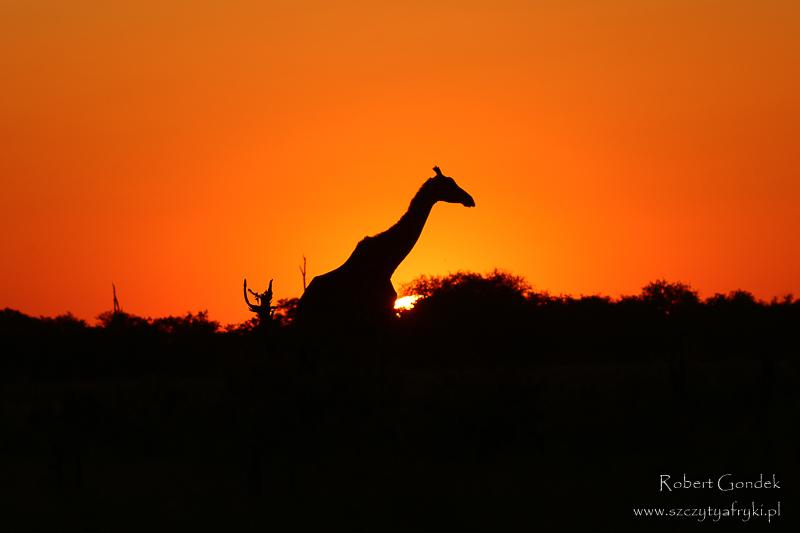 Żyrafa o zachodzie słońca