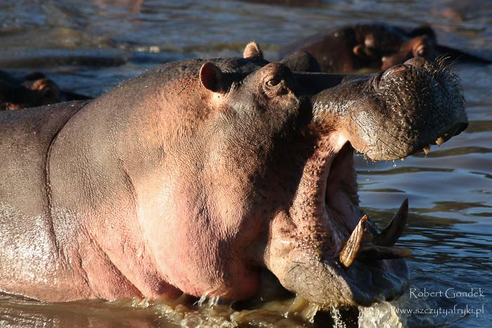 Safari w Tanzanii - Hipopotam