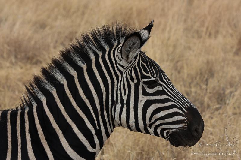 Zebra w Serengeti