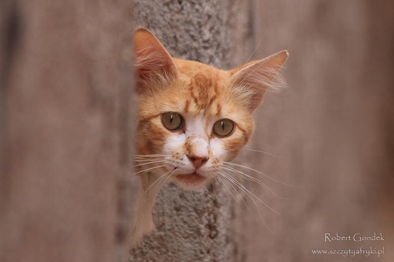 Maroko - Kot z Marrakeszu
