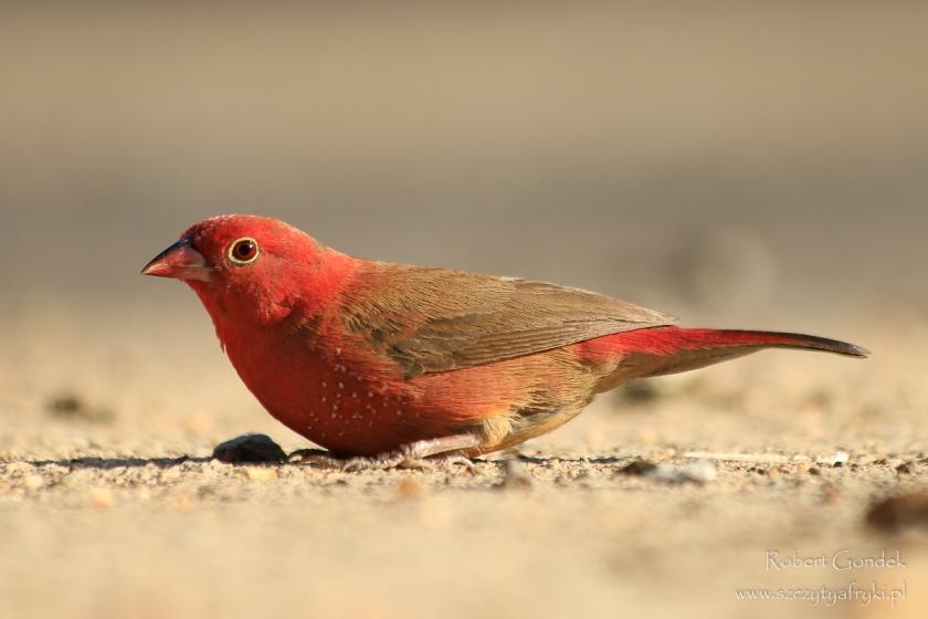 Etiopia - Aksum - Amarantka czerwonodzioba