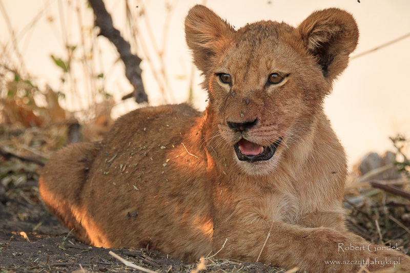 Lew w Parku Narodowym Chobe - Botswana