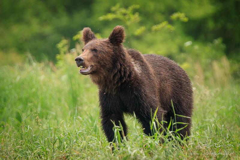 Niedźwiedź w Bieszczadach