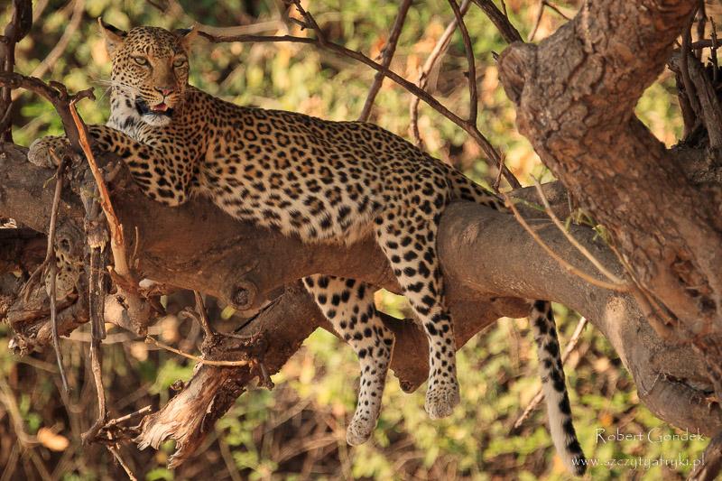 Lampart w Parku Narodowym Chobe