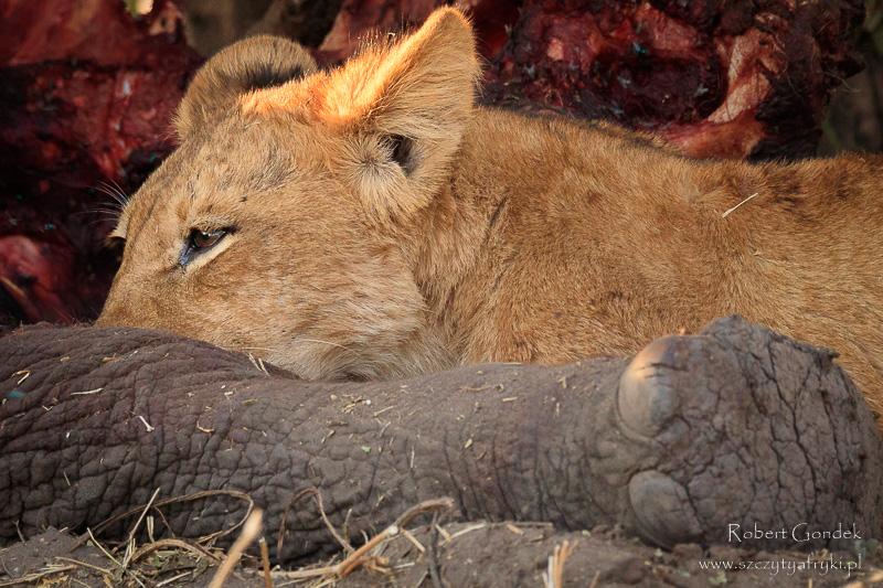Lew i upolowany słoń